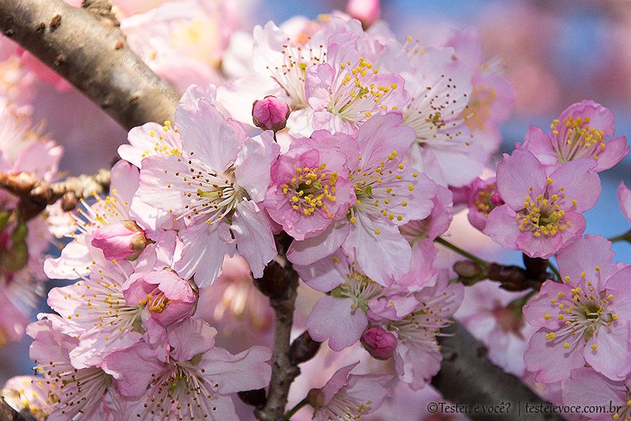 Festa da Cerejeira no Parque do Carmo